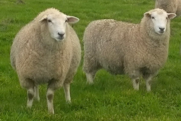 Highlander-ewe-hoggets-pre-and-post-lambing-at-1-year-old